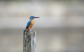 Картинка Птица, Alcedo atthis, kingfisher, обыкновенный зимородок, рыбалочка