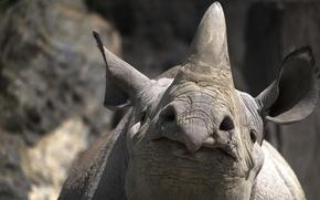 Картинка природа, фон, носорог
