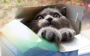 Картинка глаза, кот, взгляд, морда, серый, коробка, лапы, Кошка