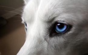 Картинка глаза, собака, голубые, белая