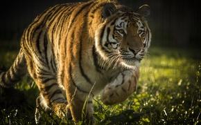 Обои дикая кошка, хищник, тигр