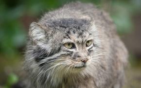 Картинка кошка, взгляд, морда, манул