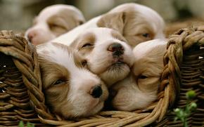 Обои малыши, собаки, щенки