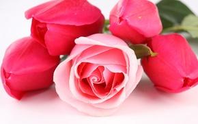 Обои цветы, розы, тюльпаны