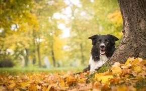 Картинка осень, листья, дерево, собака