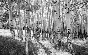 Картинка деревья, берёзы, роща