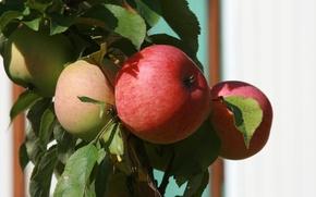 Обои яблоня, ветка, сад, природа, фрукты, еда, растение, яблоки