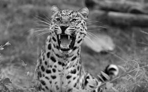 Картинка леопард, оскал, дикая природа