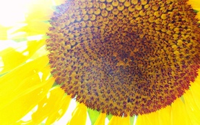 Картинка фон, Солнце, подсолнух, обложка