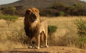Обои животные, львы, природа, деревья, африка, дикие кошки, дерево, лев