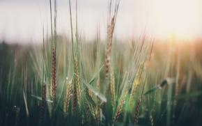 Картинка поле, макро, весна, колоски