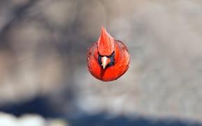 Картинка полет, птица, цвет, перья, клюв, кардинал