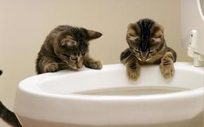 Картинка вода, кошки, унитаз