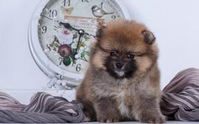 Картинка часы, малыш, щенок, ткань, шпиц