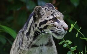 Картинка взгляд, природа, хищник, окрас, дикая кошка, дымчатый леопард