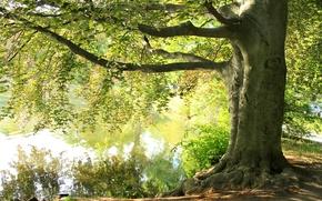 Картинка лето, озеро, дерево, ветви