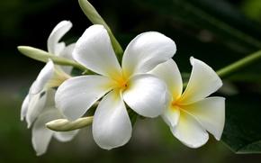Картинка белый, цветы, желтый, плюмерия, франжипани