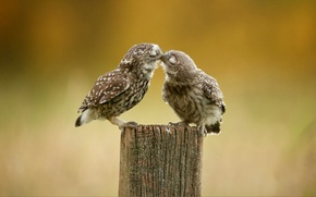 Обои птицы, перья, поцелуй, сова