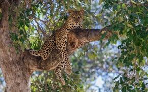Картинка леопард, дерево, ветка, хищник, отдых, листва, дикая кошка