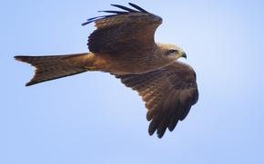 Картинка Milvus migrans, чёрный коршун, хищник, black kite, полёт, крылья, голубое, фон, птица, взмах, небо