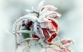 Картинка flower, winter, frosen
