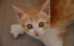 Обои взгляд, мордочка, рыжий котёнок, котёнок, глазища, рыжий