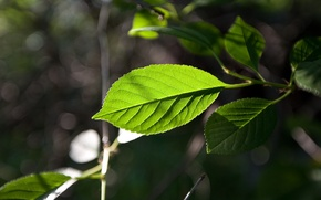 Картинка лист, зеленый, фокус