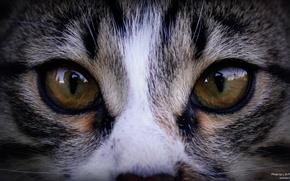 Картинка глаза, кот, взгляд, природа, отражение, зеркало, зверь, дикий