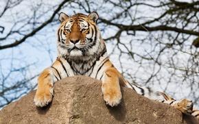 Картинка rock, tiger, tree, branches
