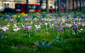 Обои цветы, город, поляна, лондон, весна, крокусы