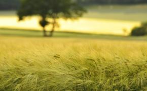 Картинка поля, макро, природа, колоски, колосок, пшеница, поле, колосья