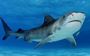 Картинка море, вода, хищник, акула