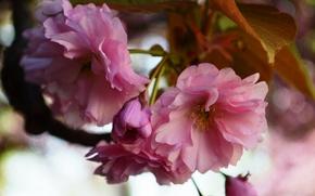 Картинка цветы, природа, розовый, весна, сакура