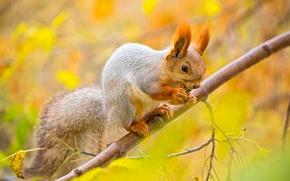 Картинка осень, листья, макро, дерево, ветка, орех, белка, белочка