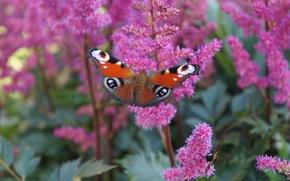 Картинка Макро, Цветы, Природа, Бабочка