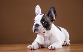 Картинка щенок, порода, французский бульдог