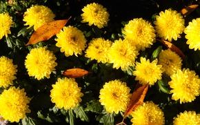 Картинка трава, цветы, widescreen, обои, желтые, wallpaper, широкоформатные, background, обои на рабочий стол, полноэкранные, HD wallpapers, …
