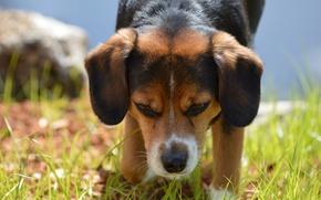 Картинка трава, друг, собака, уши