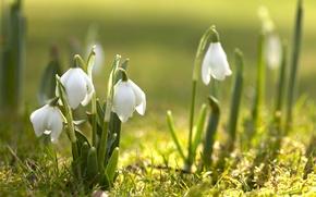 Обои цветы, природа, первоцвет, цветение, весна, подснежники