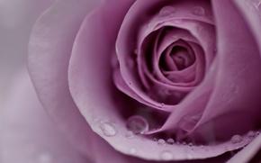 Картинка цветок, вода, капли, макро, роса, розовая, нежность, роза, лепестки, размытость, бутон, сиреневая