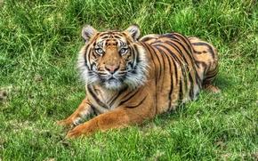 Картинка трава, тигр, солнечно
