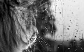 Картинка кот, усы, стекло, капли, дождь, черно-белая
