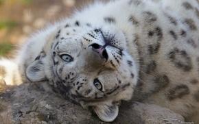 Картинка морда, хищник, ирбис, снежный барс, дикая кошка, снежный леопард