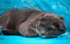 Картинка кошка, глаза, кот, взгляд, серый, вислоухий, голубой фон, шотландский, обои от lolita777