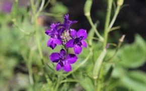 Картинка цветы, сиреневый, цветок садовый
