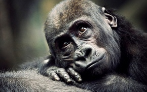 Картинка обезьяна, горилла, детеныш, примат