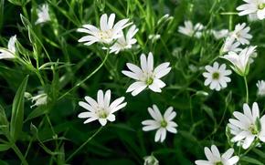 Картинка трава, цветы, луг, белые