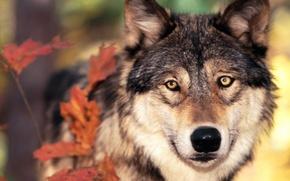 Картинка осень, листья, волк