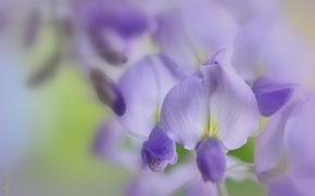Обои макро, цветы, сиреневые, глициния