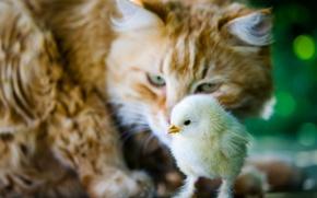 Картинка кошка, кот, ситуация, птенец, цыплёнок